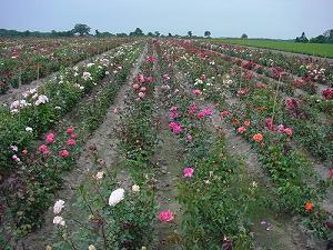Rózsanemesítés: A siker titka a hallatlan változatosság