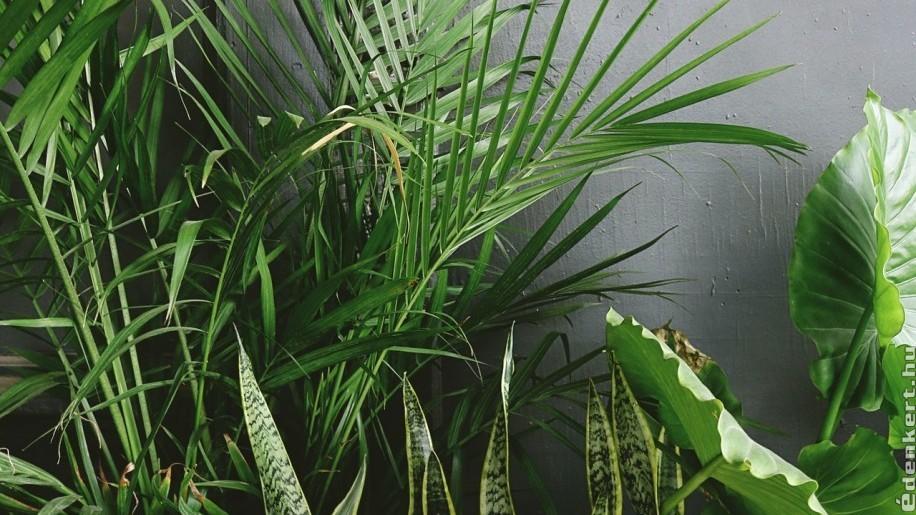 Pálma szobanövény gondozása