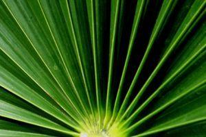 Milyen pálmafajtát ültessünk a kertünkbe?