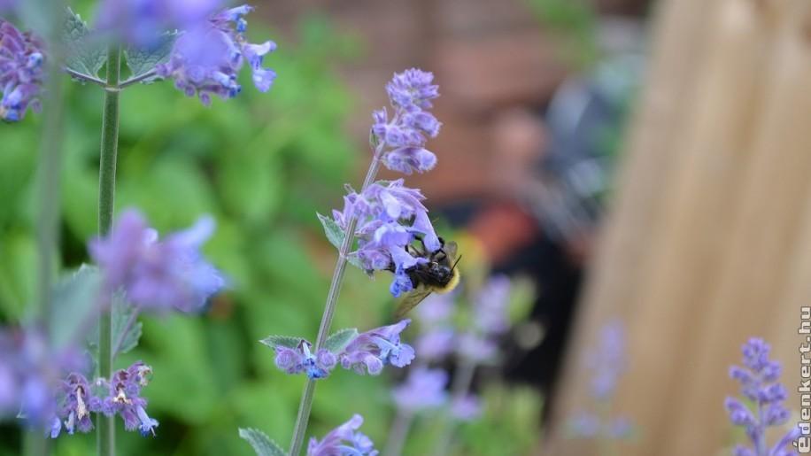 Macskamenta: egy illatos, sokáig virágzó és ellenálló növény