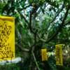 Hogyan védekezzünk vegyszermentesen a kukacmentes cseresznyéért?
