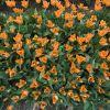 Hogyan virágoztassuk 2x egy évben a nárciszt?
