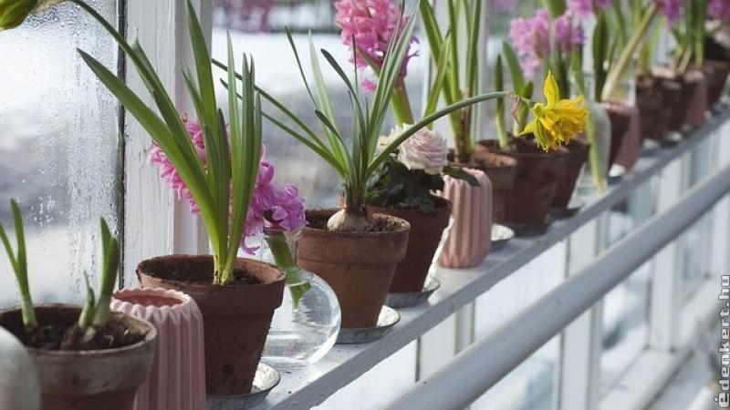 Virágoztassunk tavaszi virághagymát  előhűtéssel!