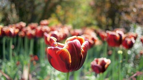 pashley-manor-tulipan-fesztival