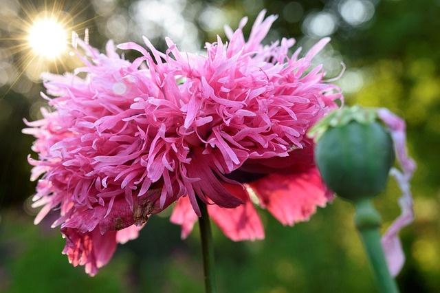 poppy-4205981_640