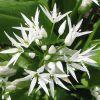 Az Allium (hagymafélék) legszebb virágfajtái
