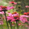 Hogyan gondozzuk a kasvirágot (Echinacea)?