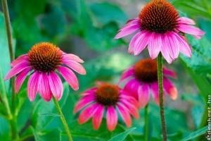 Kasvirág (Echinacea) ültetése és gondozása
