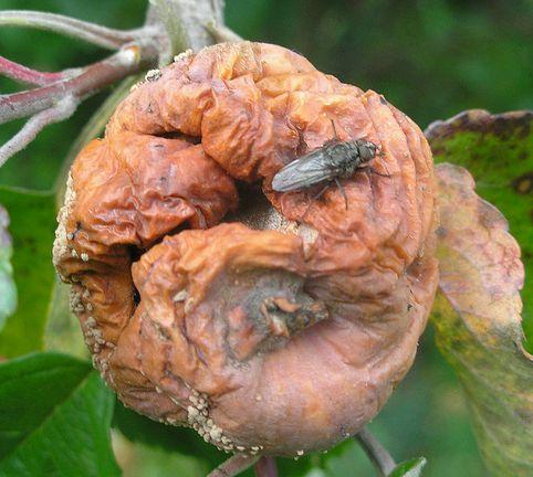 moníliás gyümölcs