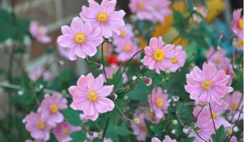 hibrid_szellorozsa_anemone
