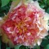 Téged is elcsábít a pünkösdi rózsa?