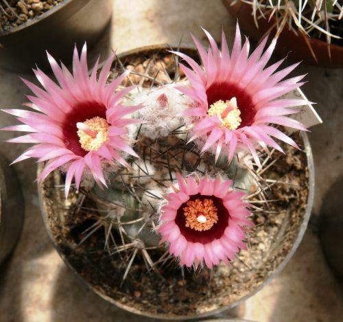 virágzó kaktusz