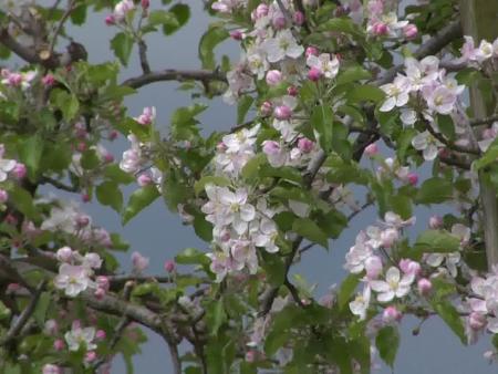gyümölcsfa virágzás