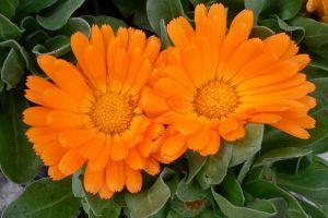 Legyen kerted a gyógyszertárad! A 10 leghasznosabb gyógynövény 1. rész