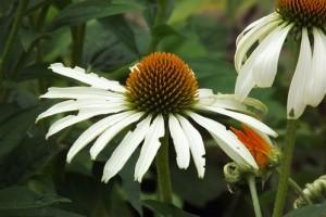 Legyen kerted a gyógyszertárad! A 10 leghasznosabb gyógynövény 2. rész