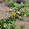 Tippek paradicsom palánta ültetéséhez