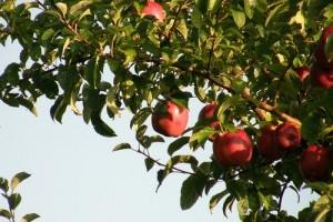 Hogyan ültessünk oltott törpe almafát?