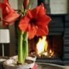 Növények teleltetése: amarillisz és leander