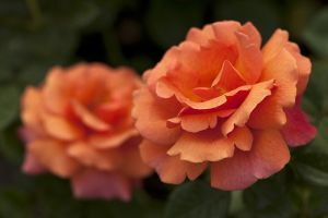 Melyek az új növényfajták 2010-ben?