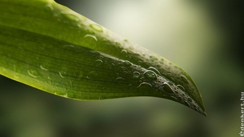 Érdemes rendszeresen tisztogatnunk a szobanövények leveleit