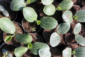 Az ültetés kezdete - Csíráztatástól a palánta előneveléséig