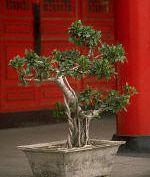 Kis fa, edényben - a bonsai