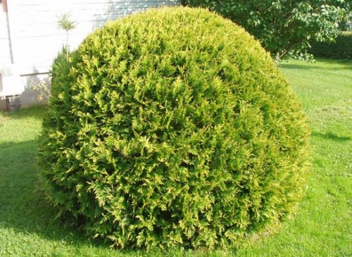 thuja-occidentalis-kobold
