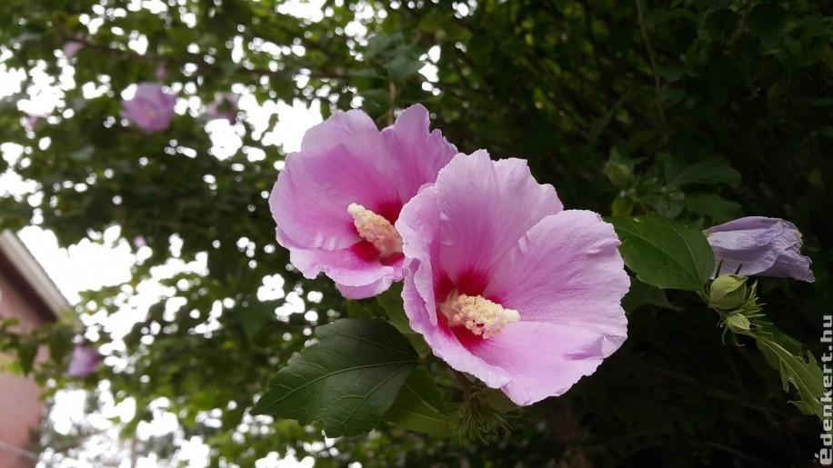 Egzotikus szépség a kertben: Sharon rózsája