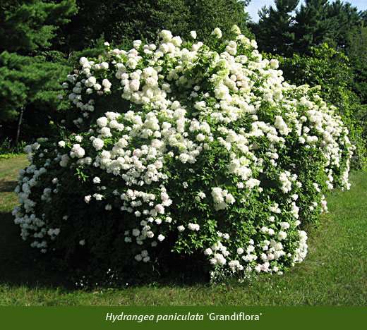 hydragena paniculata