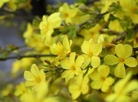 Jasminum nudiflorum
