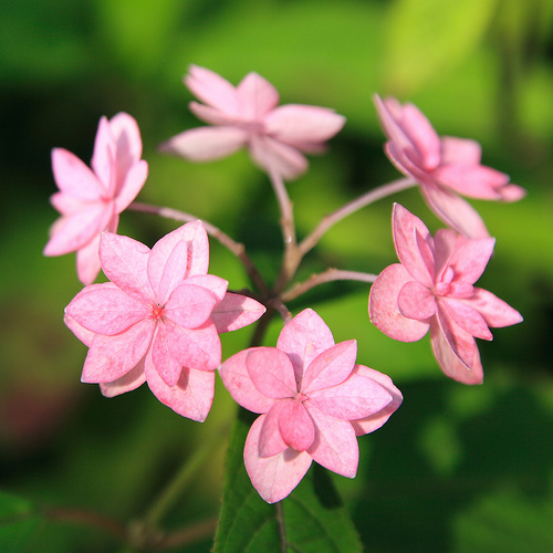 fűrészes levelű hortenzia