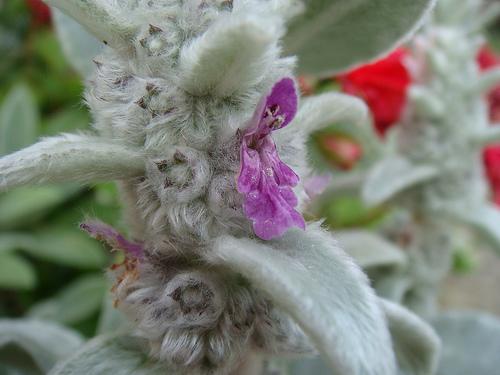 nyuszifül virágja