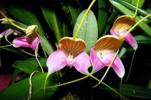 Otthonunk szépsége: a Masdevallia orchidea