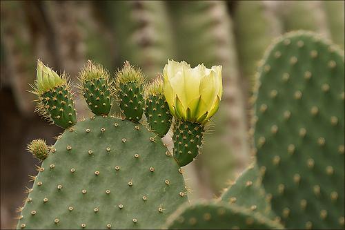opuntia kaktusz
