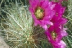 Hogyan gondozzuk az Echinocereus kaktuszt?