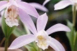 Termesszünk Pleione orhideát!