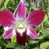 Kertészek kedvence: a Dendrobium orhidea