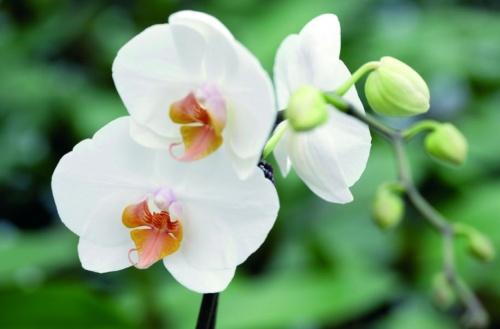 lepkeorchidea (Phalaenopsis)