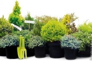 Milyen örökzöldeket használjunk egy kerti oázis kialakításához?