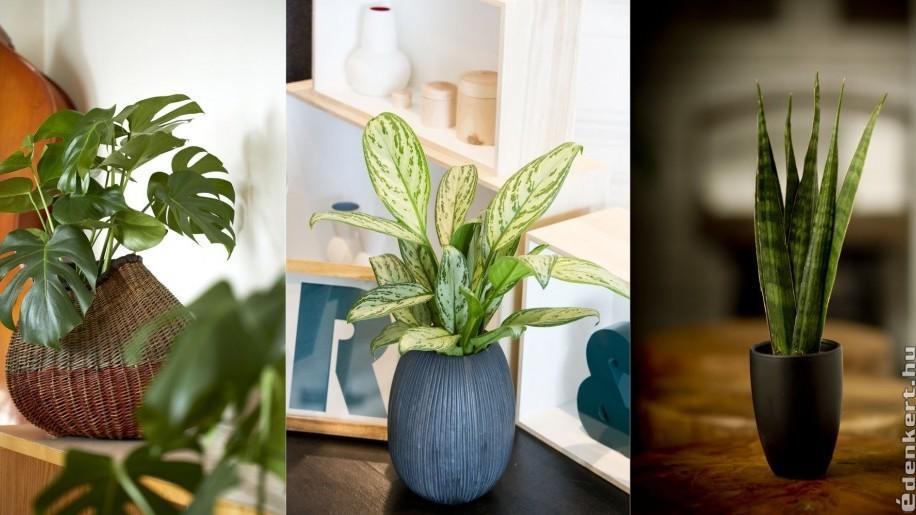 Milyen szobanövényt tartsunk, ha félárnyékos a szobánk?