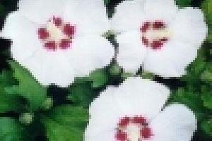 Kertünk fehér úrnője: a Mályvacserje (Hybiscus syriacus)