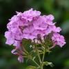 Ültessünk Bugás lángvirágot (Phlox paniculata)!