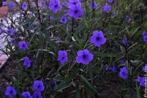 Kék leander, avagy a mexikói petúnia