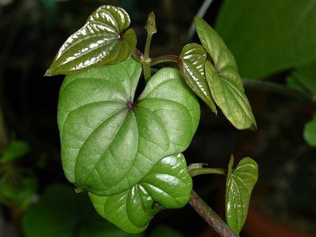 jamszgyökér növény