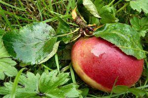 Milyen szerekkel védekezzünk az alma kórokozói és kártevői ellen?