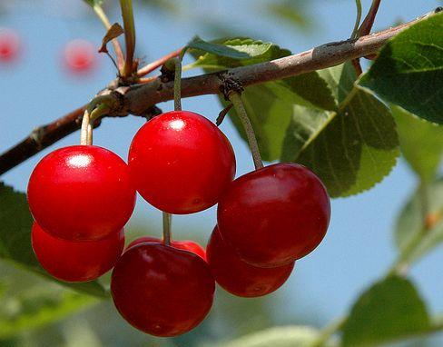 meggyfa gyümölccsel