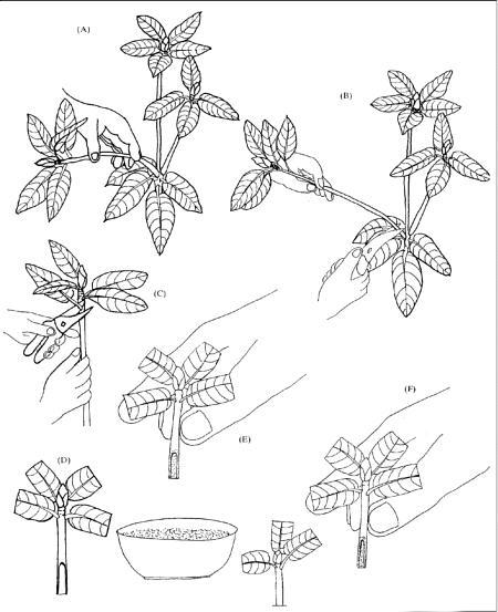 rododendron hajtásdugvány