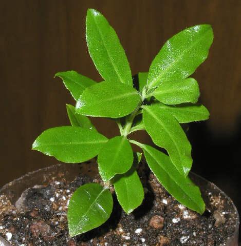 kis rododendron