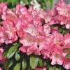 Hogyan szaporítsuk a Rododendront?
