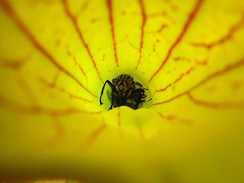 rovar a kürtvirágban